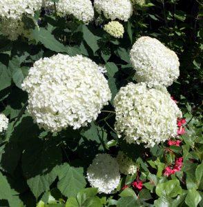 hortensia géant chez particulier